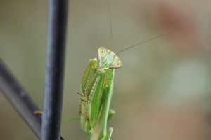 cute mantis