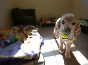 Lucas, a cocker spaniel with a penchant for tennis balls, stands in his room at Our Companions Animal Rescue shelter in Ashford (Jared Ramsdell / Journal Inquirer).